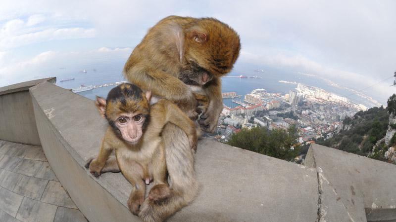 Apor på klippan Gibraltar