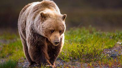 Alaska - 'den sista vildmarken' Anchorage, Denali, Kenaihalvön